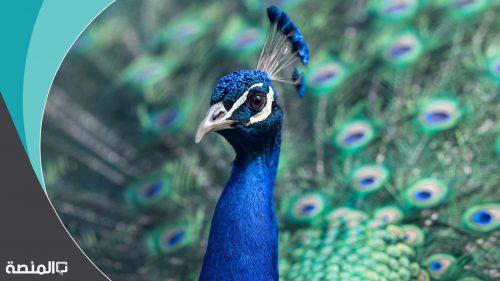 لماذا طرد الطاووس والثعبان من الجنه