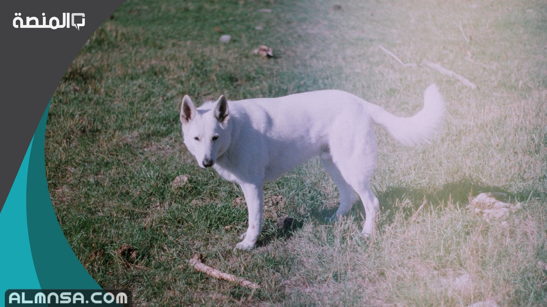 تفسير رؤية كلب أبيض في المنام المنصة
