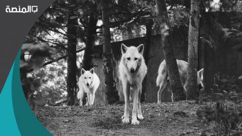 الفرق بين الكلب والذئب في الشكل