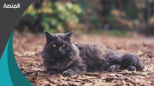 تفسير حلم القطط السوداء